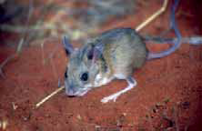Spinifex Hopping-mouse © Aaron Greenville